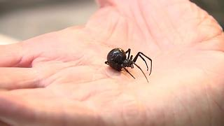 Northern black widow spider discovered in Brown County - Video