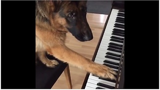 German Shepherd Puppy Learns How To Play The Piano - Video