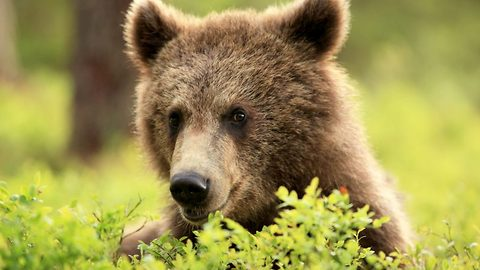 Fearless photographer captures incredible footage of friendly brown bear from so close he could hear animal's breath
