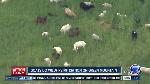 Goats do wildfire mitigation on Green Mountain