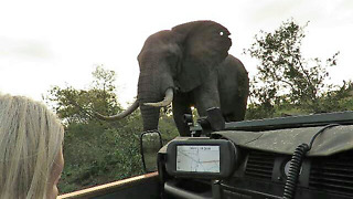 Couple keeping their cool during close encounter with dangerous bull elephant  - Video