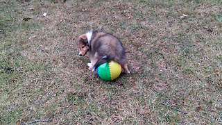 """Puppy Plays With Ball"""