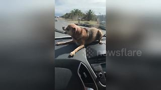 Dog goes wild when it sees windshield wipers - Video