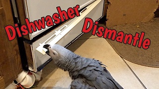 Parrot helps to dismantle broken dishwasher