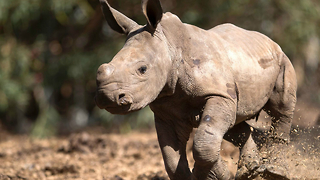 Baby Rhino Lives With Family - Video