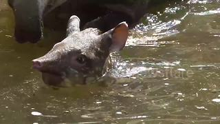 Adorable newborn tapir cools off in a pool - Video