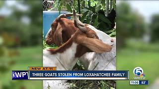 Three goats stolen from Loxahatchee family