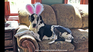Great Dane isn't too sure about his bunny rabbit ears
