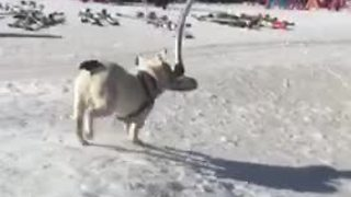 Now this is what you call a 'doggy' ski lift! - Video