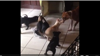 Dog challenges entire litter of puppies to tug-of-war - Video