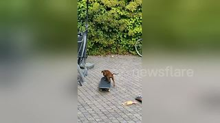 Eight-week old puppy skateboards like a pro - Video