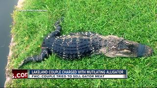 Lakeland couple accused of killing trapped alligator, trying to sell meat door-to-door - Video
