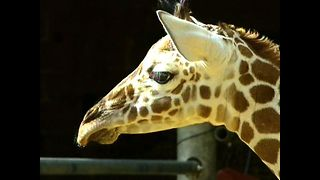 Giraffe Gives Birth To 10th Calf - Video