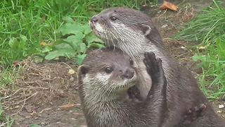 Otters kiss and cuddle each other