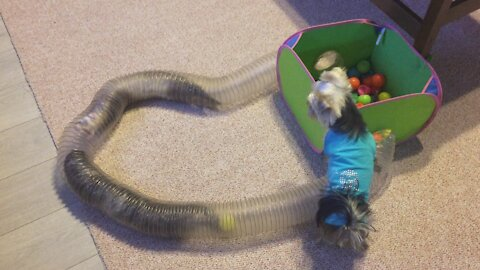 Yorkie wants to join ferrets in their tunnel games