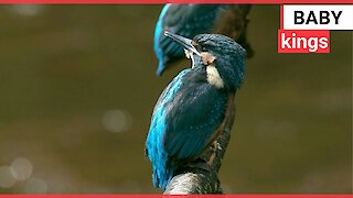 Photographer captured two kingfishers mating