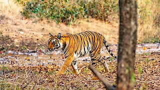 India's Wild Tiger Population Continues To Rise