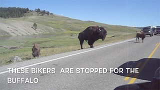 Buffaloes in Yellowstone cause traffic jam - Video