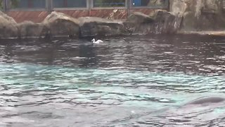 UK family witness sea lion hunting seagull at Colchester zoo - Video