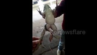 Frog born with five legs in central China - Video