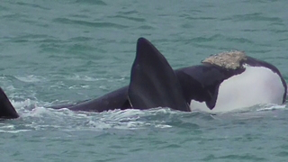 Family of Endangered Southern Right Whales Frolick Off Victorian Coast - Video