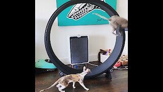 Cat gracefully lands flip after running on hamster wheel