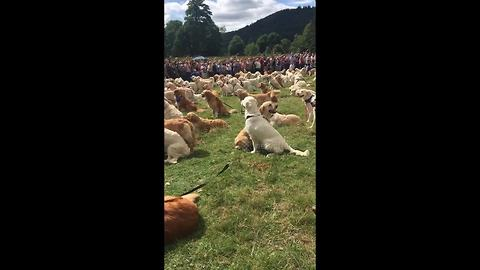 Record-breaking gathering of golden retrievers in Scottish Highlands