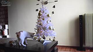 "Holiday-loving cat helps ""decorate"" Christmas tree"