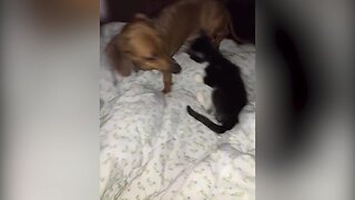 Kitten and Dog Play Together