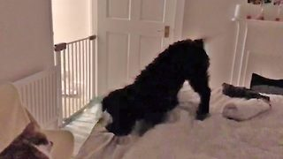 Hilarious video shows puppy taking a tumble after being frightened by cats 'meow'  - Video