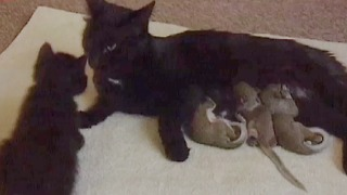 Cat Adopts Baby Squirrels - Video