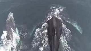 Baby Humpback Plays With its Mom in Monterey Bay - Video