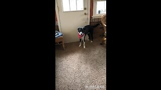 Dog learns how to ring doorbell to come back inside