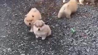 Litter of chow chow puppies are just too cute - Video