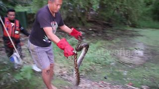 Python caught while eating pet chicken - Video