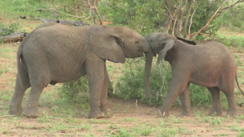 Baby elephant goes head-to-head in shoving contest with brother