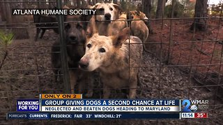 Group Gives Abused German Shepherds a Second Chance At Life