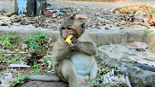 Baby Monkey Sweetpea Got Delicious Food For Eat - Video