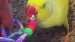 Extremely talkative parrot won't let up!  - Video
