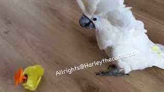 Harley the Cockatoo Destroys Fake Chicks - Video