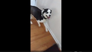 Husky can't hold back excitement upon owner's return