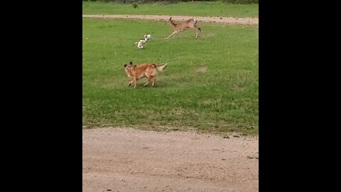 Wild deer trying to kill our dogs