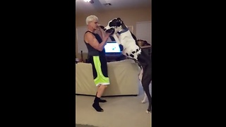Huge Great Dane Dances With Owner - Video