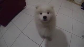 Samoyed Pup Grows Up Super Fast - Video