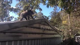 Hilarious koala jump fail - Video