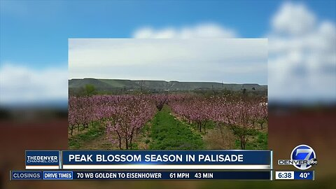 Bloom peaking in Palisade