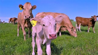 Newborn calf and his mother curiously check out a new farm visitor