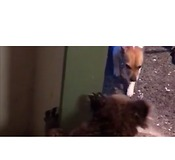 Koala Growls at Family Dog, Then Calmly Hangs on Their Front Door - Video
