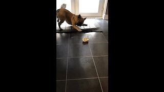 French Bulldog literally can't stop dancing for tasty treat