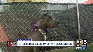 Why are Valley animal shelters full of so many pit bull mixes? - Video